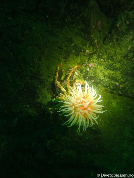 Trollkrabbe og anemone